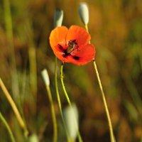 Маковый цветочек. :: владимир