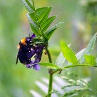 Пчёлка и муравьи :: Светлана Шарафутдинова