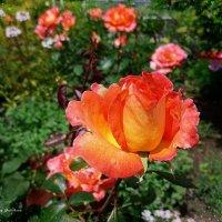 Бутон розы :: Nina Yudicheva
