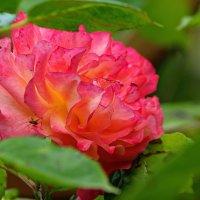 ну очень ароматная роза :: Александр Корчемный
