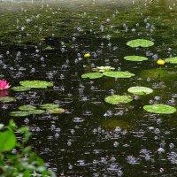 кувшинки под дождем :: Alexander Varykhanov