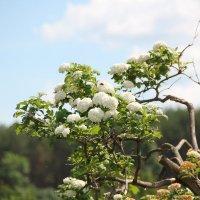 В саду дерево цветет... :: Наталья Воронцова