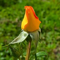 Нераспустившийся бутон розы :: Милешкин Владимир Алексеевич