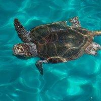 Остров Закинтос .черепаха(карета) размер больше метра :: юрий макаров