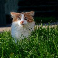 Сеанс кошачьего гипноза... :: Александр Бойко