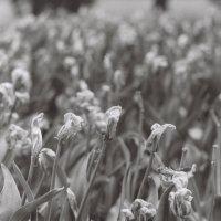 Июньские тюльпаны :: Саша Суфранс