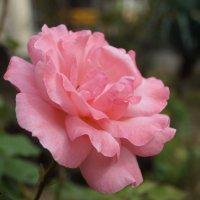 Роза :: Ирина Егорова