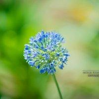 лук цветет :: Наталья Корнилова