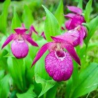 Сибирские орхидеи :: Дмитрий ВЛАСОВ