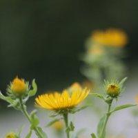 Милый желтый цветочек :: Светлана Курцева