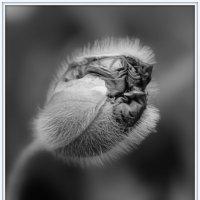Цветок мака :: Снежана Пундуре