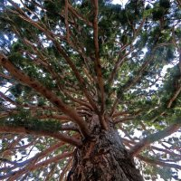 Дерево, вид снизу :: Ирина Cемко