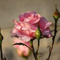 Крымская роза :: Ната Волга