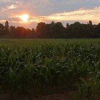 У кукурузного поля :: Alexander Andronik