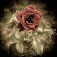 Бархат розы :: Инга Мысловская