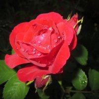 Прекрасная роза... :: Valentina