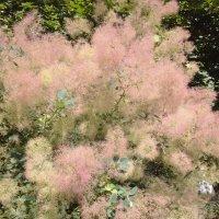 Скумпия - Дымное дерево :: Serg