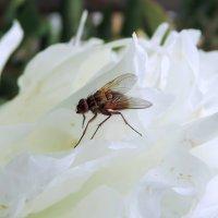 Шерстяная муха :: Елена Якушина