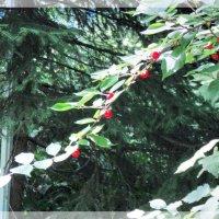 Поспевает войлочная вишня :: Domna Kuznechic