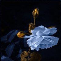 Синяя роза - эмблема генетической модификации, созданная путем применения масок в фотошопе. :: Валерьян Бек (Хуснутдинов)