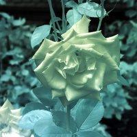Инфракрасная роза :: Alexander Varykhanov