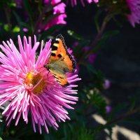 Бабочка-царица лета :: Анна Коновалова