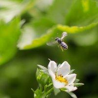 Пчелка :: Анастасия Мойсук