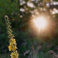 ~ Цветок и солнце ~ :: Ирина Анисимова