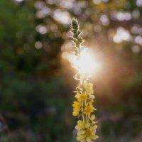 ~ Цветок на солнце ~ :: Ирина Анисимова