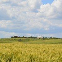 Пшеничное поле. :: Виктор ЖИГУЛИН.