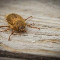 Майский жук :: Sergey Oslopov