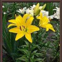 Желтые лилии :: Владимир Бровко