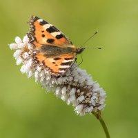 Бабочка :: Дмитрий