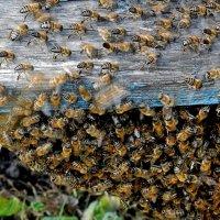 Пчелы :: Владимир