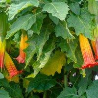 Цветы Тенерифы :: Witalij Loewin