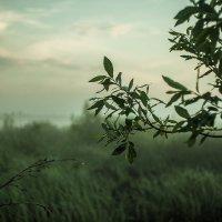 А над болотом стелется туман и оседает каплями на листьях... :: Дмитрий Костоусов