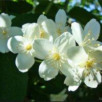 Благоухающий жасмин :: Лидия (naum.lidiya)