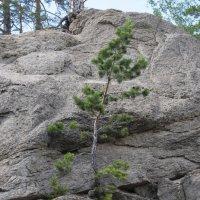 И на камнях растут деревья... :: Olga Vunova