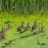 Утки на озере :: Павел Данилевский