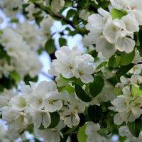 яблоня в цвету :: Tasha
