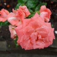 Первый июльский дождь... :: Тамара (st.tamara)
