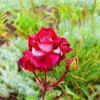 Роза :: Ирина Пластинина