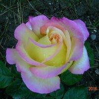 Розы,розы.розы... :: татьяна