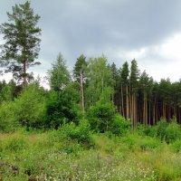 Июньский лес :: Елена Шемякина
