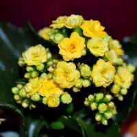 комнатные цветы :: Инна Церульнёва