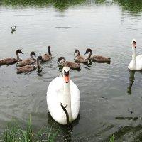 Ещё одна лебединая семья :: Маргарита Батырева