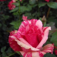 И такие цвета бывают у роз :: Андрей Лукьянов