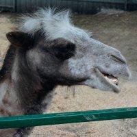 Верблюд в контактном зоопарке :: Света Кондрашова