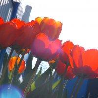 тюльпаны :: Елизавета Белянина