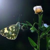 Ночная бабочка :: Cергей Дмитриев